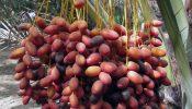 খেজুর উৎপাদনে শীর্ষে মিসর, রফতানিতে তিউনিসিয়া