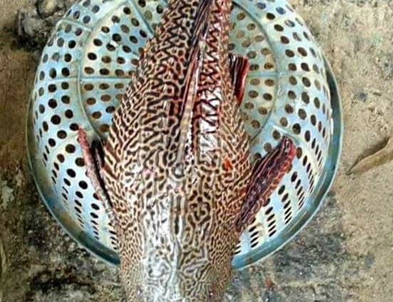 শ্রীমঙ্গলে বিলাস নদীতে ধরা পড়েছে বিরল প্রজাতির মাছ
