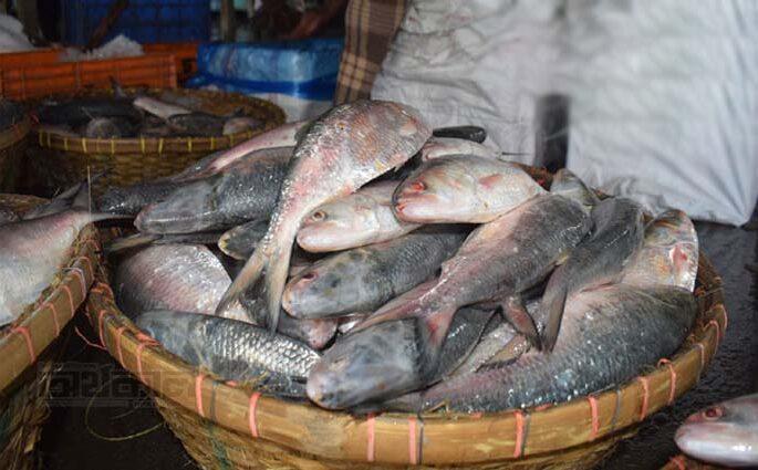 চাঁদপুরে জমজমাট ইলিশের বাজার